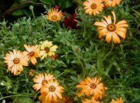 African Daisy Flower Color Palette