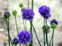 Allium, Blue Globe Flower Color Palette