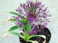 Allium Star Of Persia Flower Color Palette
