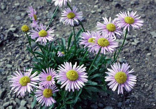 Aster, Alpine Flower Color Palette