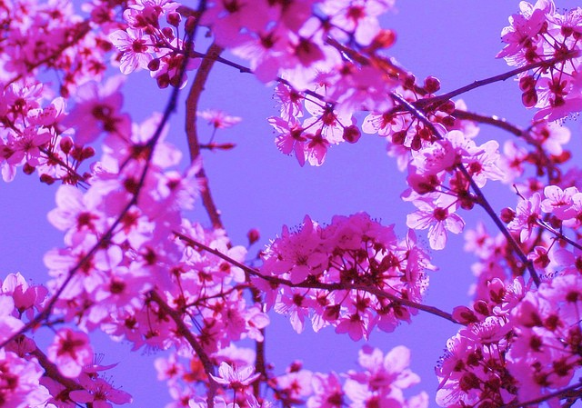 Blossoms In Pink On Blue Sky Color Palette