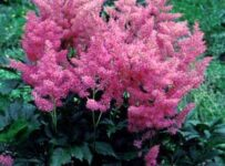 Hybrid Astilbe Flower Color Palette