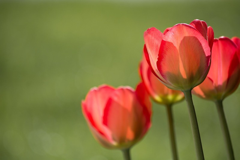 Red Tulips And Green Color Palette