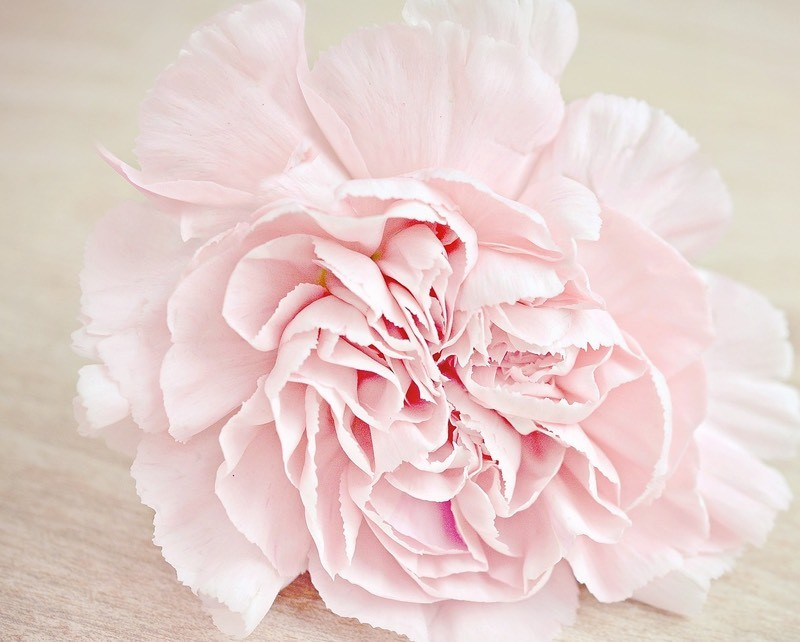 Soft Pink Carnation Color Palette