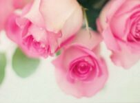 Spring Pink Rose Flower Color Palette